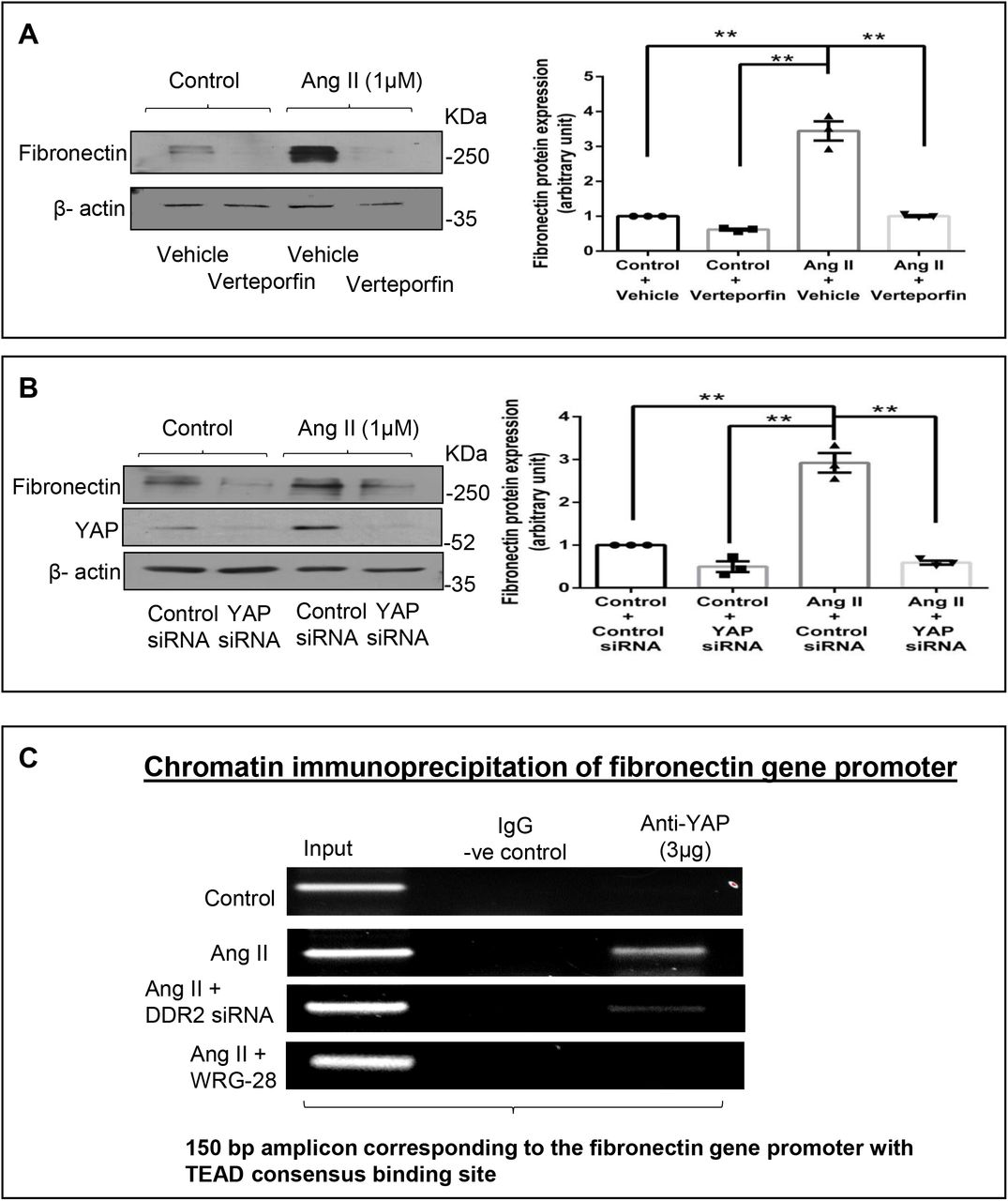 Transcriptional regulation of fibronectin by DDR2-activated YAP transcription coactivator ( A ) Cardiac fibroblasts were treated with Verteporfin (10 μM) for 1 h prior to Ang II treatment. Cells were collected at 12 h post-Ang II treatment and fibronectin protein levels were examined, with β-actin as loading control. **p