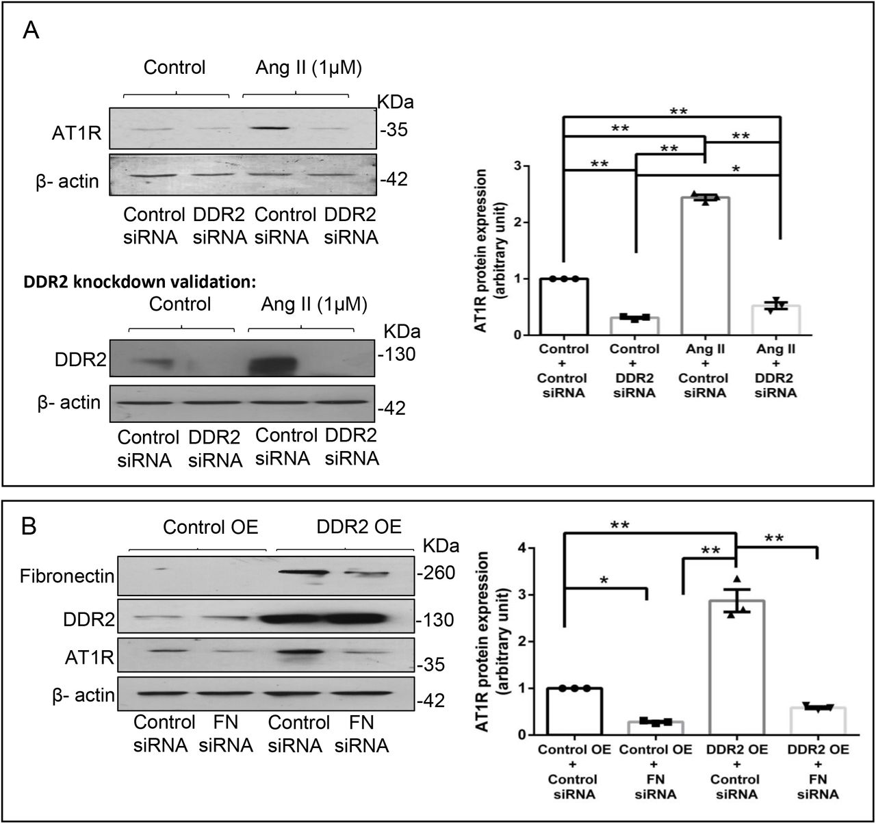 <t>DDR2</t> regulates Ang II-mediated expression of AT1R in cardiac fibroblasts ( A ) RNAi-mediated silencing of DDR2 confirmed its role in regulating AT1R expression in Ang II-stimulated cardiac fibroblasts. Cardiac fibroblasts were transiently transfected with DDR2 siRNA (5 pmol) or control (scrambled) siRNA prior to treatment with Ang II for 12 h. AT1R protein expression was examined, with β-actin as loading control. Validation of DDR2 silencing is also shown. *p