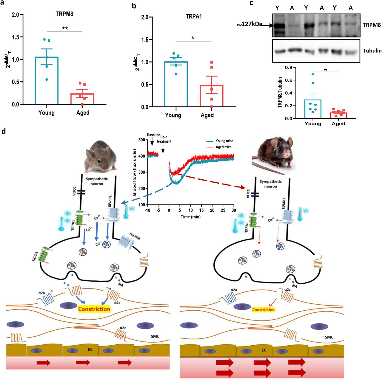 Sympathetic-sensory signalling and influence of ageing (a-b) RT-PCR CT analysis shows the expression and fold change of TRPA1 and TRPM8 in young and aged sympathetic ganglia normalized to three housekeeping genes collected from the cervical and thoracic paravertebral region. (c) The western blot analysis of TRPM8 in sympathetic ganglia of young and aged mice. All results are shown as mean ± s.e.m. *p