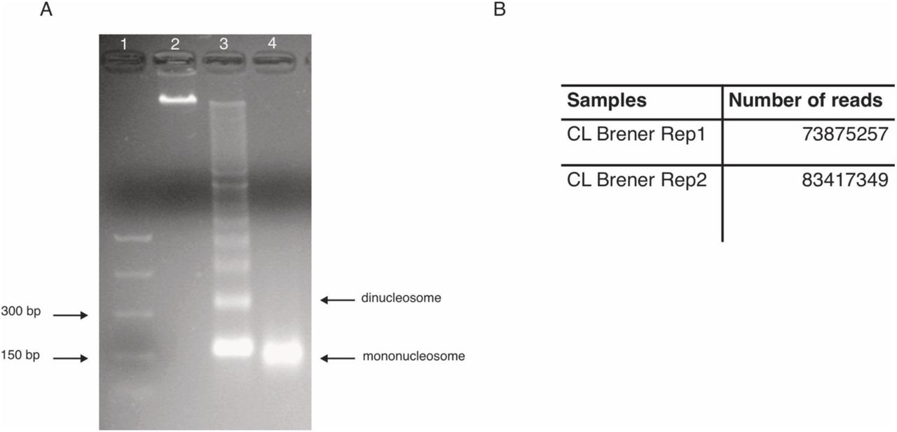 Mononucleosome sample and total number of paired-reads. (A) Chromatin digestions from the CL Brener replicate 1 experiment analyzed in a 2% agarose gel. The sample loaded in lane 4 was used for the experiment. PCR DNA (NEB) marker was loaded in lane 1. (B) Total number of paired-reads obtained in each replicate experiment.