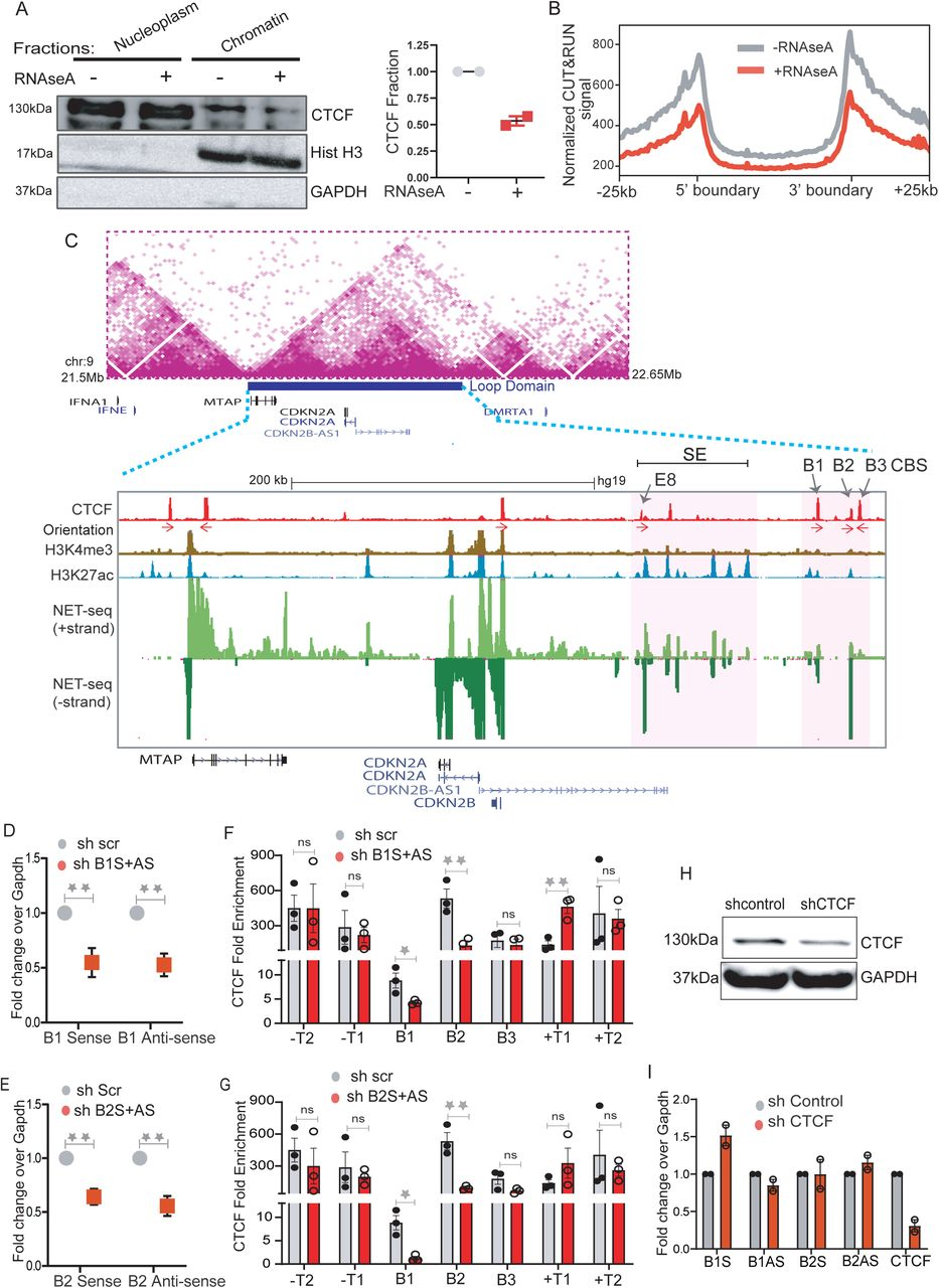 RNA augments the recruitment of CTCF at the TAD boundary: A. Immunoblotting with CTCF, Histone H3 and GAPDH on soluble nucleoplasm and chromatin bound fractions of the nucleus treated with or without RNaseA (Left panel). The right panel shows the quantified loss of CTCF from chromatin fractions from two replicates. B. Normalised CTCF cut and run signal in control and RNAse A treated conditions plotted at equally scaled TADs of 50kb length each and 25kb flanks . C. TAD structure at INK4a/ARF locus on 9p21 region ( Rao et al., 2014 ). The loop domain (Blue bar) is overlaid by the position of CTCF peaks, CTCF motif orientation, H3K4me3, H3K27ac (enhancers), mNET-seq tracks and gene annotations. The highlighted region shows the B1, B2 and B3 CTCF sites on 3' boundary and super enhancer with position of enhancer E8 marked by an arrow. D. qRT-PCRs showing the levels of sense and anti-sense non-coding RNA at B1 CTCF site upon B1 RNA knockdown E. qRT-PCRs showing the levels of sense and anti-sense RNA at B2 CTCF site upon B2 RNA knockdown. F. CTCF ChIP enrichment before and after shRNA mediated knockdown of sense and anti-sense RNA at B1 CTCF sites. The bars show the CTCF on three CTCF sites (B1, B2 and B3) at 3' boundary, on -T1 (5' boundary) of INK4a/ARF TAD, -T2 on adjacent TAD boundary upstream, +T1 (on adjacent TAD boundary downstream) and +T2 the boundary of following TAD downstream. G. CTCF ChIP enrichment before and after shRNA mediated knockdown of sense and anti-sense RNA at B2 CTCF sites. The bars show the CTCF on three CTCF sites (B1, B2 and B3) at 3' boundary, on -T1 (5' boundary) of INK4a/ARF TAD, -T2 on adjacent TAD boundary upstream, +T1 (on adjacent TAD boundary downstream) and +T2 the boundary of following TAD downstream. Error bars denote SEM from three biological replicates. p -values were calculated by Student's two-tailed unpaired t -test in D, E, F and G. ** p