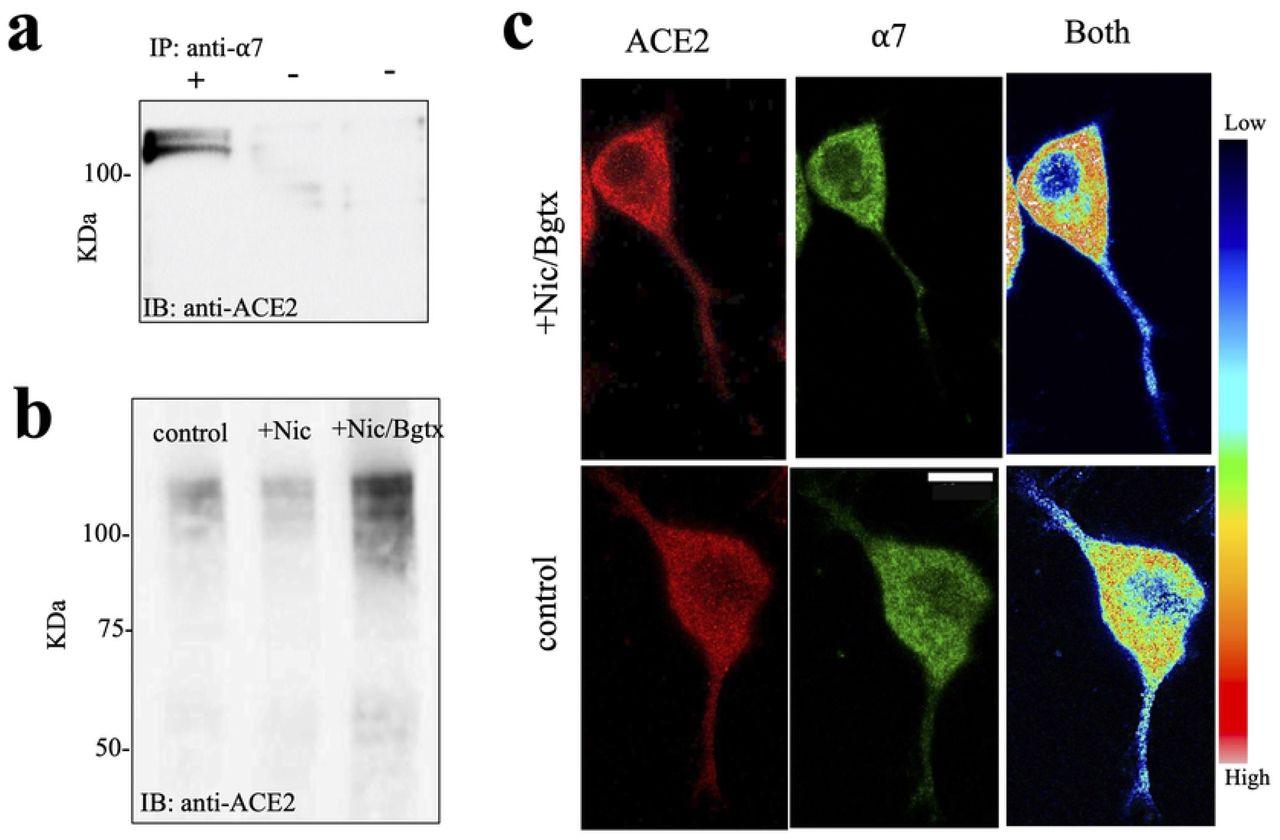 α7 nAChR interacts with ACE2 and regulate its expression. a) Co-IP from PC12 cell membrane fractions using an anti-α7 antibody. Western blot detection using an anti-ACE2 antibody shows immunoreactive bands on the gel. b) Western blot detection of the ACE2 protein on the gel. c) Colocalization of ACE2 and the α7 nAChR (fBgtx) using a heat map to show relative change in the protein colocalization in the cell. Scale bar = 10 μm.