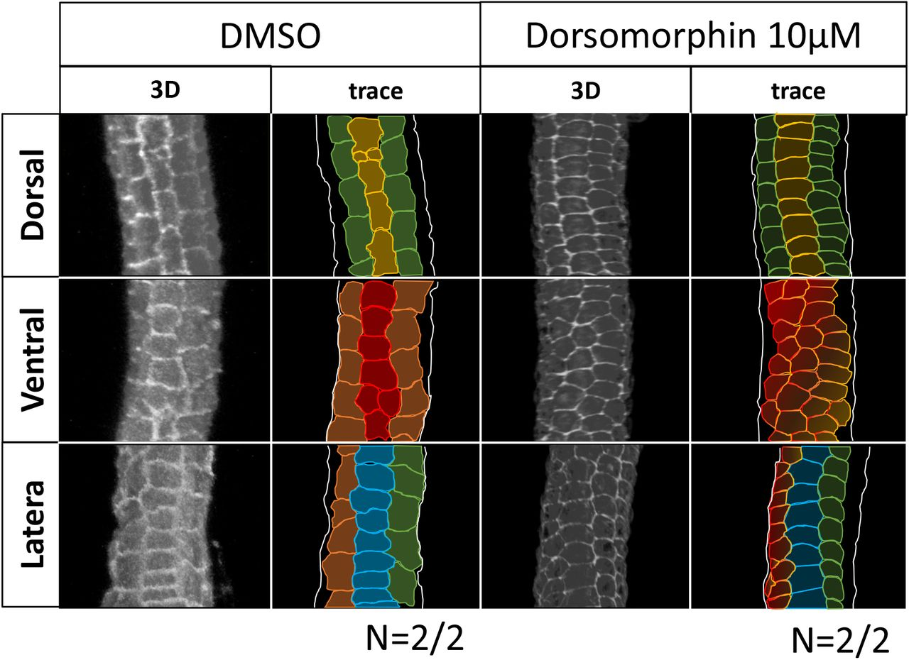 The alignment of the tail epidermal cells of DMSO-treated and Dorsomorphin-treated embryo at st. 24. The cell-cell intercalation was completed in the DMSO-treated embryo (left), and the tail epidermal cells consist of 8 rows: dorsal (yellow), two dorsal medio-lateral (green), ventral (red), two ventral medio-lateral (orange) and two laterals (blue) rows. On the other hand, there is a specific inhibition of the intercalation of the ventral row in Dorsomorphin-treated embryos (right). (N = 2 in DMSO and 2 in Dorsomorphin)