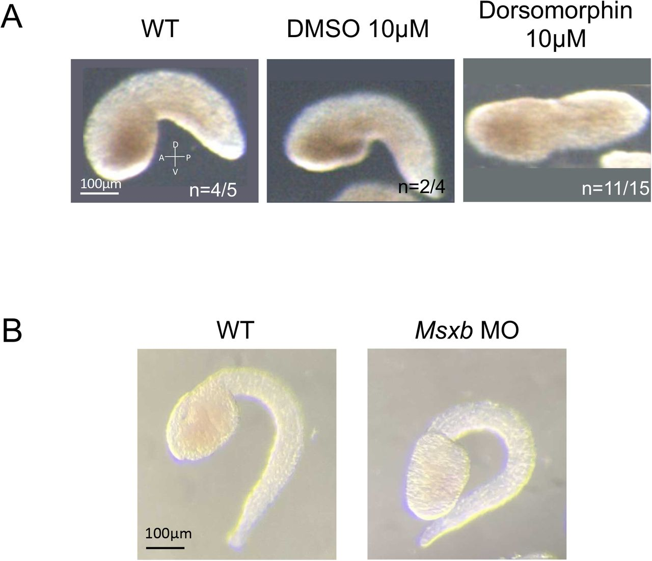 Morphants of tail bending. (A) mid-tailbud stage embryo of WT, DMSO treatment, and Dorsomorphin. DMSO and Dorsomorphin were treated after the mid neurula stage (st. 15). The dorsomorphin-treated embryo didn't bend tail, similar to the Admp MO embryo ( Fig.1A ). (B) MOs against Msxb were injected. While Admp MO was affected the tail bending ( Fig.1A ), Msxb MO was not affected the tail bending. Scale bar, 100 μm. The number of examined embryos and the proportion of representative embryos are shown in each panel, respectively. All embryos are shown anterior to the left.